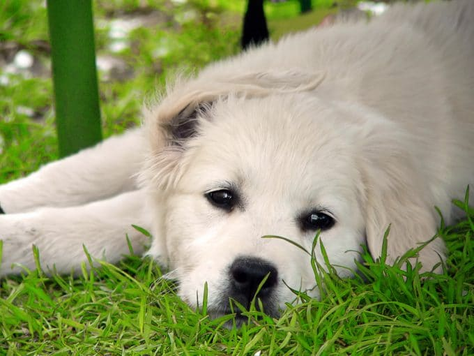 Cancer In Dogs Caused By Weed Killers