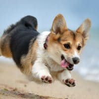 Corgi-Con Will Make You Want 1,000 Corgis