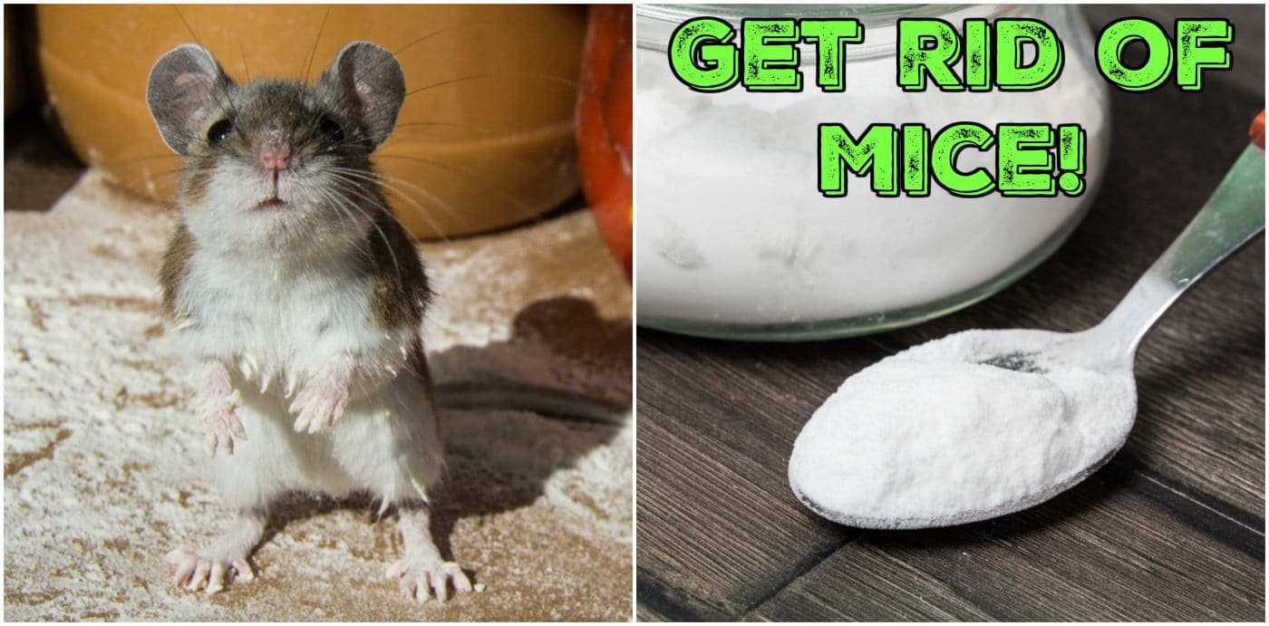What are the mice afraid of, or How to get rid of them