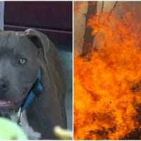 Pitbull Saves Baby From A House Fire