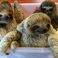 Baby Sloths Captured On Film and the Internet Can't Deal with the Cuteness