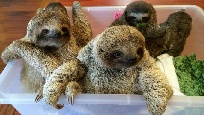 Baby Sloths Captured On Film and the Internet Can't Deal