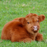 You Can Have a Fluffy Miniature Cow As a Pet