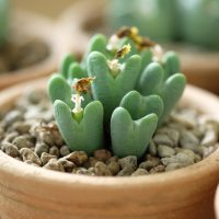 Succulent Plant that Looks Like Tiny Hearts