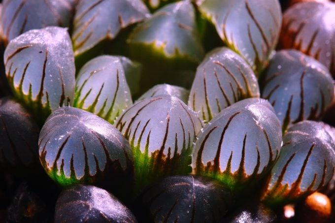 Haworthia Clear Succulent Plant