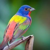 Beautiful Painted Bunting Birds
