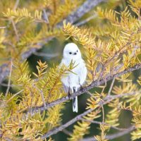 Tiny Cotton Ball Bird on Japanese Island