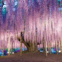 pink wysteria