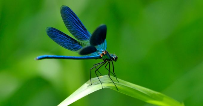 Attract Dragonflies