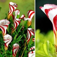Beautiful Candy Cane Oxalis Flowers