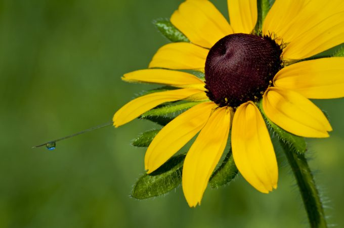 Black Eyed Susans attract Dragonflies