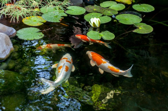 Coy Fish Pond