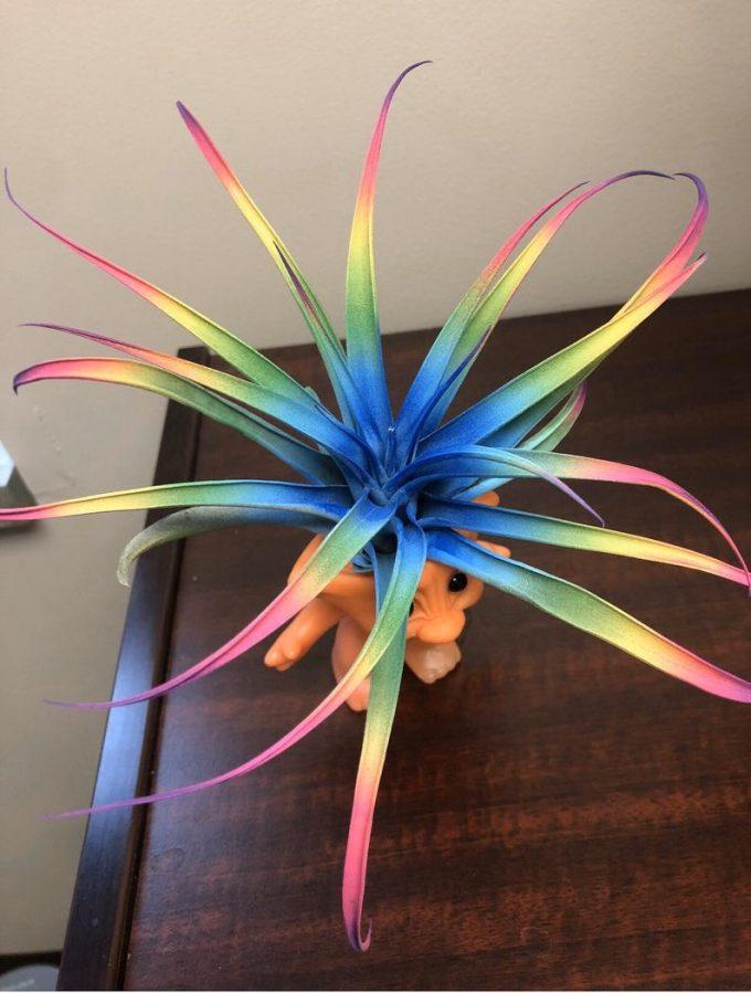 Rainbow air plant